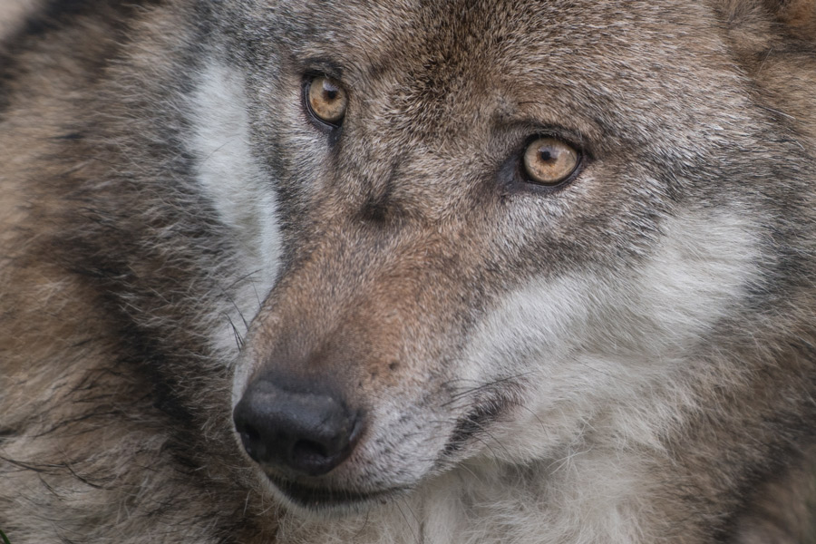 //www.csendres.com/wp-content/uploads/2018/03/claudia-endres-wildlife-wolf.jpg